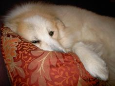 Vegan Thyme: For The Love of A Rescued Great Pyrenees