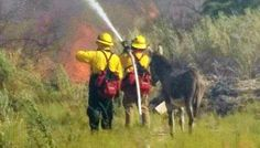 Donkey Escapes From Burning Forest, Refuses To Leave Firefighters' Side