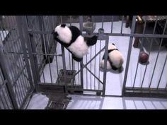 What is the happiest job in the world? A panda nanny! - YouTube