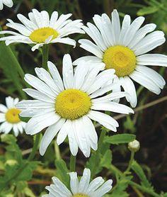 Shasta Daisy, Alaska along fence Growing Flowers, Cut Flowers, White Flowers, Daisy Flowers, Sun Garden, Garden Plants, Cut Flower Garden, Flower Art, Alaska