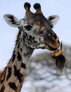 Giraffe remains motionless while the Yellow Billed Oxpecker gets busy