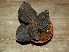 Anoectochilus chapaensis ~ Jewel Orchid Terrarium Vivarium