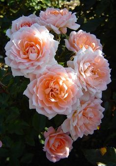 Roses LOVELY  ROSE  ORANGE Y  ROSE- PASTEL ,,,,,AL  GARDEN -ROSERAIS**+