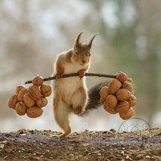 """Gefällt 19.6 Tsd. Mal, 187 Kommentare - Joy Safari Bay 💎 (@joysafaribay) auf Instagram: """"Daily workout 🏋️♂️🏋️♀️ - Photo credit: Geert Weggen Follow artist: @geertweggen —————————————…"""" Squirrel Pictures, Cute Animal Pictures, Cute Little Animals, Cute Funny Animals, Nature Animals, Animals And Pets, Beautiful Creatures, Animals Beautiful, Cute Squirrel"""