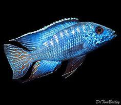 """Flametail Peacock"" Cichlid | Scientific name: Aulonocara | Lake Malawi"
