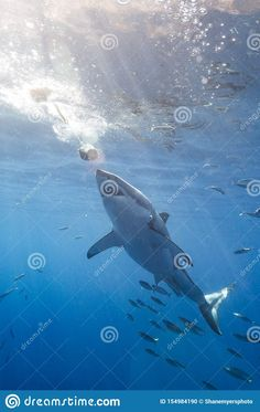 Great White Shark Diving, Shark Cage, The Great White, Whale, Georgia, Africa, Swimming, Boat, Stock Photos
