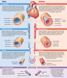 Arteries, which are elastic or muscular, and veins, which contain valves, have three-layered walls; capillaries have thin walls with only one layer Arteries Anatomy, Thoracic Cavity, Arteries And Veins, Respiratory Therapy, Hematology, Study Materials, Human Anatomy, Cavities, Healthy Tips