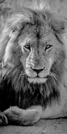 Lord of the Lions Black and White Wildlife Art Print. Lion art starts under $25. Shop now at www.rogueauroraphotography.com/wall-art-shop/lord-of-the-lions.