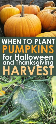 GROWING PUMPKINS: Dreaming of growing your own pumpkins for Halloween and Thanksgiving? Find out exactly when to plant pumpkins for the perfect fall harvest!