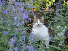Cat in the catmint or nepeta