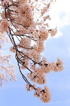 SAKURA(Cherry blossom)/ Jindai Botanical Gardens, Chofu, Tokyo on Flickr.