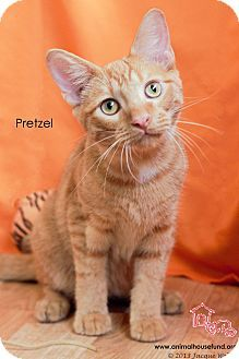 Pictures of Pretzel❤️ a Domestic Shorthair for adoption in ANIMAL HOUSE CAT RESCUE AND ADOPTION CENTER, St Louis, MO who needs a loving home.2/17/16