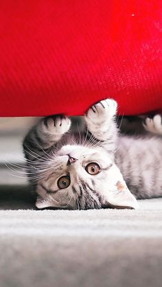 Cute Kitten Upside Down iPhone 5 Wallpaper