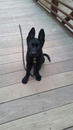 Honor, 10 week old black German Shepherd puppy More