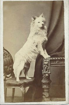 c.1860 cdv of a white spitz proudly posing for his portrait. Photo by J. Laing, Castle Street, Shrewsbury. From bendale collection
