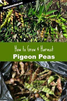 How to Grow Pigeon Peas Columned cherries (and columned fruit in general) are. How to Grow Pigeon Fall Vegetables, Planting Vegetables, Planting Seeds, Growing Vegetables, Growing Tomatoes, Vegetable Gardening, Organic Gardening, Gardening Tips, Pea Trellis