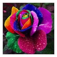 Rare Roses, Rare Flowers, Exotic Flowers, Black Flowers, Silk Flowers, Home Garden Plants, Bonsai Garden, Terrace Garden, Fruit Garden