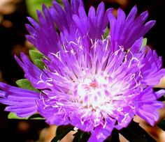 Nature  stokes aster  photograph by paradisereal on Etsy, $27.00