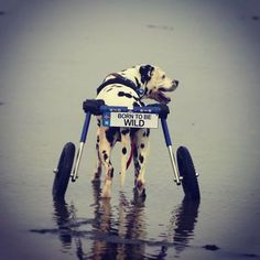 Born to be wild! Run wild and free with Walkin' Wheels!  #handicappedpets #walkinwheels #dogwheelchair