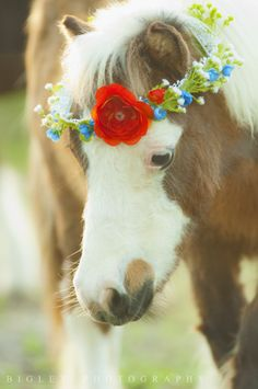 Bigley Photography, equestrian, equestrian photography, horse, horses, horse photography, mini horse, miniature horse, flower crown, ranch, South Florida photography, stable, barn.  https://www.facebook.com/bigleyphotography