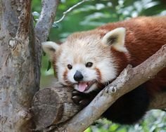 Flynn the red panda hanging out at the San Diego Zoo