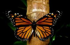 The Social Network for Agriculture Mariposa Butterfly, Butterfly Flowers, Monarch Butterfly, Butterfly Wings, Beautiful Butterflies, Akhal Teke, Butterfly Ankle Tattoos, Butterfly Species, Page Borders Design