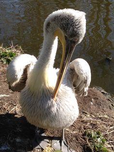 Diergaarde Blijdorp Maart 2015 Jonge pelikaan