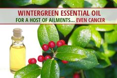 Do you use wintergreen oil or any other essential oils for good health or cancer prevention? Here is more information about this incredible plant, how it can help thwart cancer development, and what the American Botanical Society has to say about it. Wintergreen Essential Oil, Essential Oil Uses, Young Living Essential Oils, Essential Oils For Cancer, Doterra Essential Oils, Natural Cancer Cures, Natural Remedies, Healing Oils, Cancer Treatment