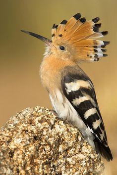 hüthüt kuşu / hoopoe bird
