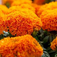 Among marigolds, the AAS judges loved 2010's Moonsong Deep Orange, which bears pumpkin-color flowers all summer into autumn.