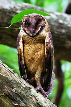 Minahassa Masked-Owl or Sulawesi Golden Owl. Endemic to Indonesia