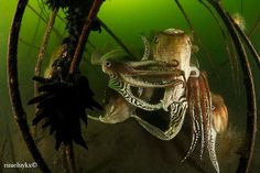 Cuttlefish. ~via Diving & Photogrsphy, FB
