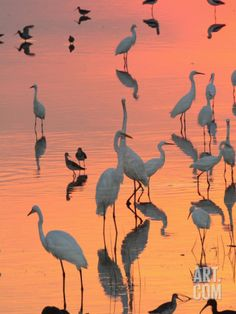 Wading Birds Forage in Colorful Sunset Water, Bombay Hook, Delaware Photographic Print by George Grall at Art.com