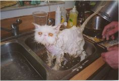 Image detail for -funny-cat-being-washed.jpg