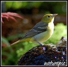 I had one of these cuties at my suet feeders for many weeks, maybe she'll come back next year!  Western Tanager - female