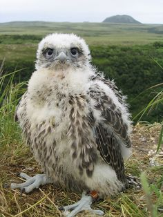 dendroica:  Gyrfalcon nestling by USFWS Headquarters on Flickr.