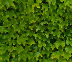 Painted wall of ivy leaves fabric by greennote on Spoonflower - custom fabric