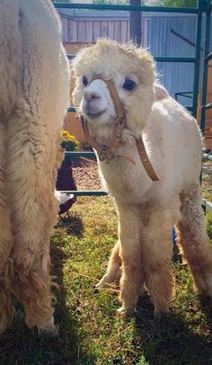 Alpaca for Leo Baby Alpaca, Alpaca My Bags, Cute Alpaca, Fluffy Animals, Cute Baby Animals, Animals And Pets, Farm Animals, Alpacas, Funny Animal Photos