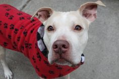 ADYA - A1102243 - - Manhattan  TO BE DESTROYED 01/31/17 **NEEDS A NEW HOPE RESCUE TO PULL** A volunteer writes: Bright, but confused, amber eyes look up at me from her kennel. Her tail wags in anticipation, and out we go. Adya's coat is as soft as the finest velvet, the color of a latte with lots of milk. She's likely housetrained, and her lovely leash manners make her a perfect companion for a walk to the park. Wagging her tail at passersby, of both the 2 legge