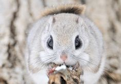 The Siberian Flying Squirrel
