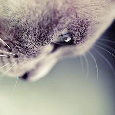 macro lens shot of lilac burmese kitten