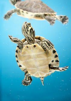 Mini turtles.