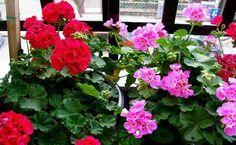 Μολόχα! !! Balcony Garden, Garden Beds, Compost, Growing Geraniums, Window Sill, Large Flowers, Flower Seeds, Dream Garden, Organic Gardening