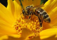 What to Plant in Your Garden to Help Save the Bees - Aside from buying organic, local honey and food from reputable sources, what else can we do to help the bees? Plant a bee-friendly garden! Remedies For Bee Stings, Getting Rid Of Bees, How To Kill Bees, Raising Bees, Propolis, Bee Friendly, Animal Totems, Save The Bees, Bees Knees