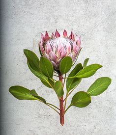 Inspired by Colonial Botanical Illustrators Botanical Drawings, Botanical Illustration, Illustration Art, Illustrations, Protea Art, Protea Flower, Botanical Flowers, Botanical Prints, Pieris Japonica