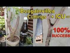 How to Grow Bougainvillea Cuttings from Big Trunks - ICU Technique - YouTube Air Layering, Bougainvillea, Cuttings, Bonsai, Trunks, Big, Youtube, Plants, Drift Wood