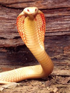 Albino Monocled Cobra, Southeast Asia. The Monocled Cobra's have a round marking on their hoods, that can resemble an eye. They have a neurotoxic venom, and can be very fast and very deadly.