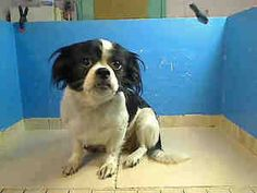 SANDY is an adoptable Pekingese Dog in New York, NY.  ...
