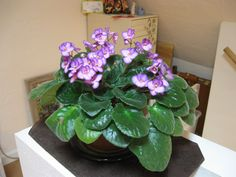 My African Violets