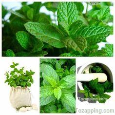 Menta la hierba que sana beneficios para la salud. Menta la hierba que sana Sumamente utilizada en la aromaterapia y la gastronomía, la menta es una hierba